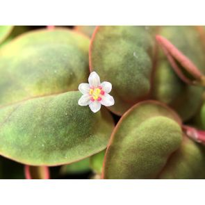 Tropica Phyllanthus fluitans - Red Root Floater (in-Vitro)