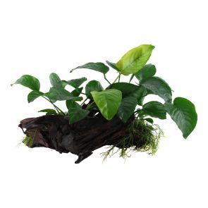 Anubias barteri sp. on large mangrove wood - XL