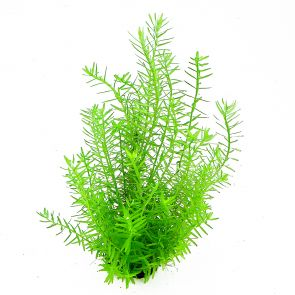 Dennerle Rotala spec. green