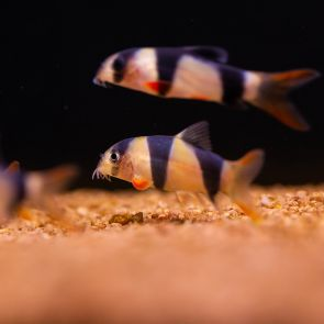 Fish - Clown Loach - Chromobotia macracanthus
