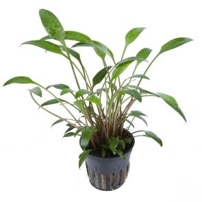 Tropica Cryptocoryne x willisii - Pot in single package