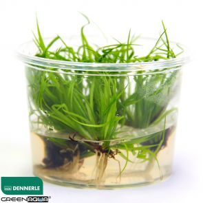Dennerle Juncus Repens in-Vitro
