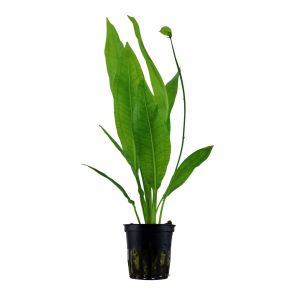 Tropica - Echinodorus bleheri - Pot in single package