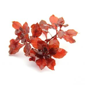 Dennerle Ludwigia Spec. Super Red