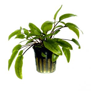 Tropica - Cryptocoryne wendtii ''green'' - Pot in single package