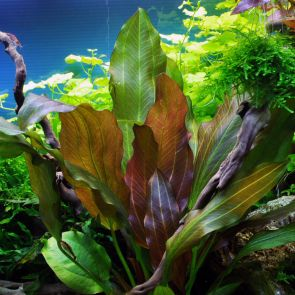 Tropica - Echinodorus Reni - Pot in single package