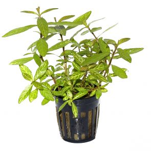 Tropica - Hygrophila polysperma 'Rosanervig' - Pot in single package