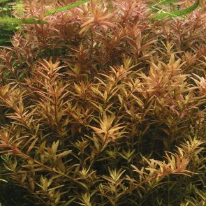 Tropica - Rotala rotundifolia - Pot in single package
