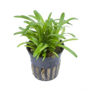 Tropica Sagittaria subulata - Pot in single package