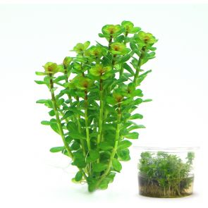 Dennerle Rotala indica - zselés (in-Vitro)