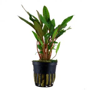 Tropica - Cryptocoryne beckettii ''petchii'' - Pot in single package