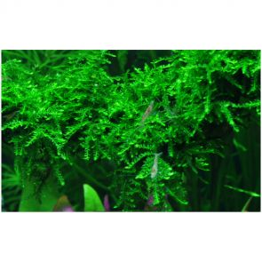 Tropica Vesicularia ferriei Weeping moha TC (zselés)