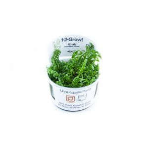 Tropica Rotala rotundifolia green TC