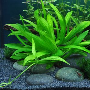 Tropica - Echinodorus quadricostatus - Pot in single package