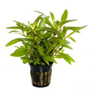 Tropica - Hygrophila corymbosa 'Siamensis 53B' - Pot in single package