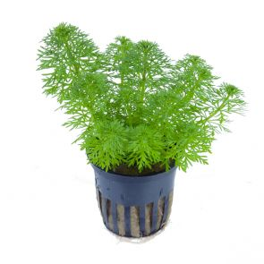 Tropica - Limnophila sessiliflora - Pot in single package